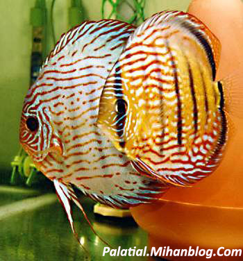 Index of image mahi diskes for Keeping discus fish